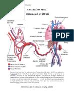 Trabajo de Anatomia Circulacion Fetal