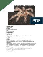 Care Sheet - Brazilian Giant Blond Tarantula