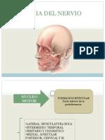 Anatomia Del Nervio Facial