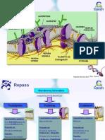 Clase 11 Ciclo Celular y Mitosis