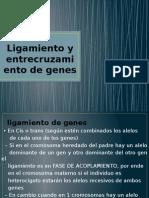 Ligamiento y entrecruzamiento de genes