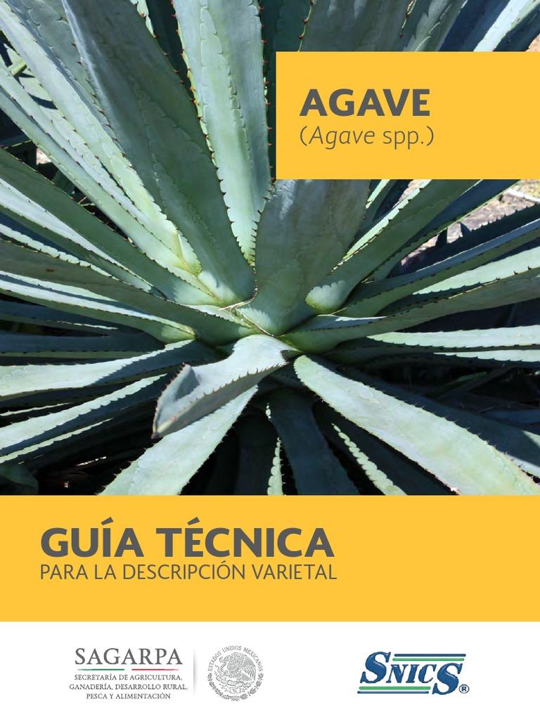 Yucca filifera reproduccion asexual en