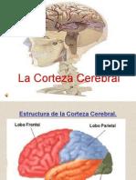 Bases Biolgica La Corteza Cerebral