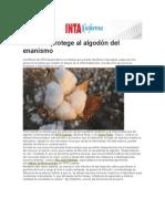 Un Virus Protege Al Algodón Del Enanismo