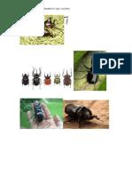 coleopteran.docx