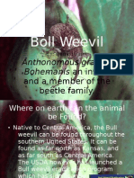 Animal of the Day-Boll Weevil
