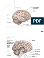 Neuro 5-Anatomia Descrittiva Del Diencefalo e Del Telencefalo