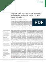 Myosin motors at neuronal synapses