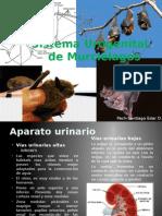 Sistema Urogenital de Murciélagos