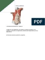 Músculos del tronco.docx