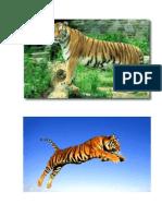 Varios Tigres