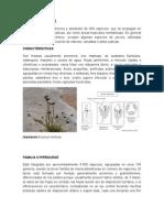 Familia Juncaceae