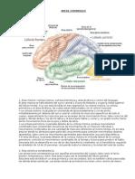 Areas Cerebrales