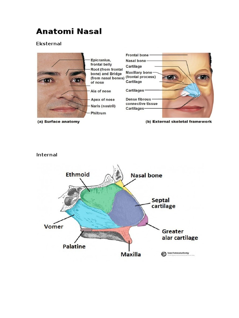 Nose Surface Anatomy Image collections - human body anatomy