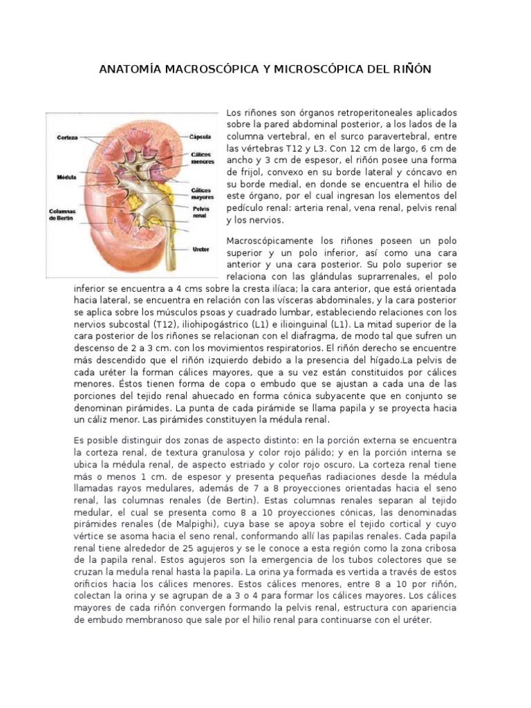 Anatomía Macroscópica y Microscópica Del Riñón