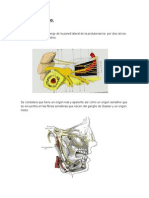 Anatomía Del Nervio Trigémino