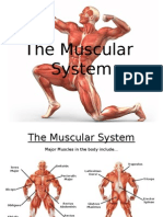 the musclar system