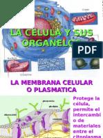 La Celula y Sus Organelos 6º