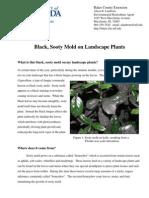 Black Sooty Mold on Landscape Plants