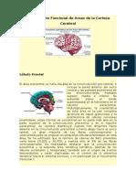 Áreas funcionales del cortex cerebral