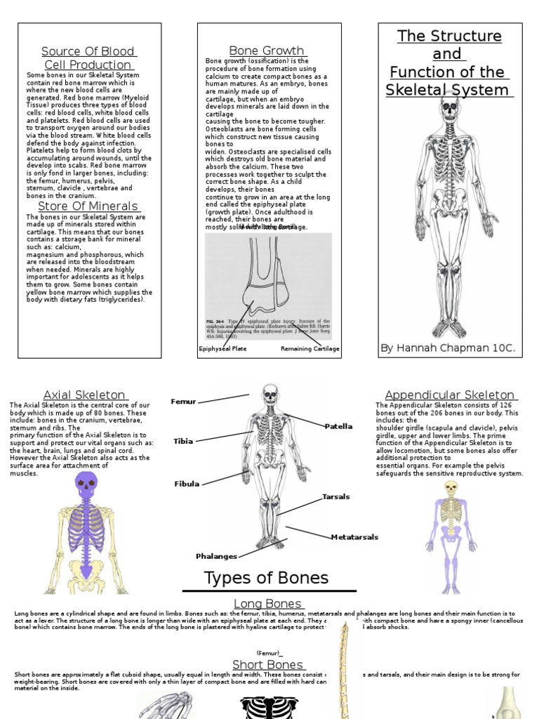 Structure And Function Of A Skeletal System Skeleton Bone