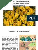 Siembra cultivo de rosas