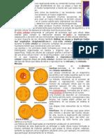 sandra mitosis.docx