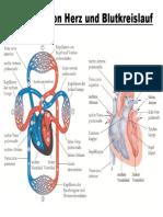 Herz Und Blutkreislauf