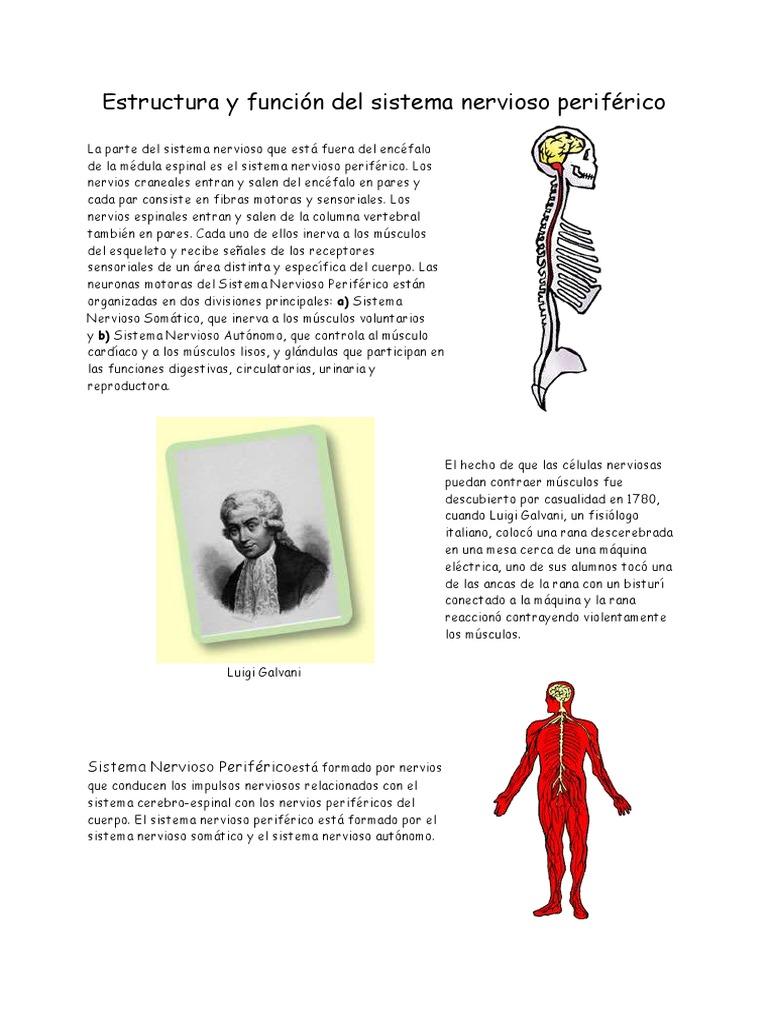 Estructura y función del sistema nervioso periférico.pdf