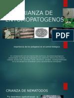 Crianza de Entomopatogenos