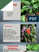 Lasnicior Solanum d.