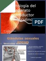 Histologia Del Aparato Reproductor Masculino Expo
