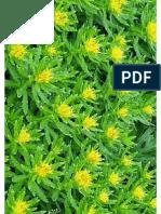 Sanjeevani Plant