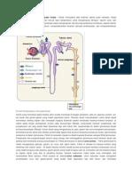 Proses Pembentukan Urine Pada Ginjal