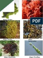 Algas Verdes, Rojas, Pardas, PArdodoradas, Pirrofitas, etc.pptx