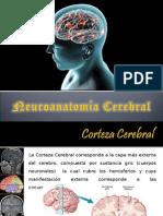 Neuroanatomia Cerebral