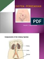 anatomi ginjal