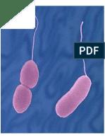 Manual Vibrio Parahaemolyticus