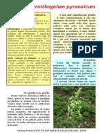 ornithogalum_pyrenaicum
