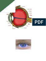 partes del ojo.docx