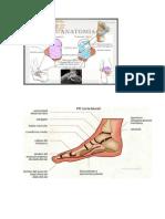 el pie ANATOMIA