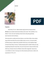 Ficus Elastica Tricolour