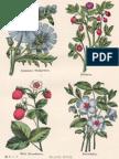 Hedgewort Bilberry Strawberry Periwinkle