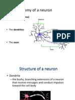 Lecture 7- Brain Macrostructure