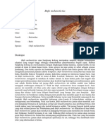 Bufo melanotictus (bangkong kolong)