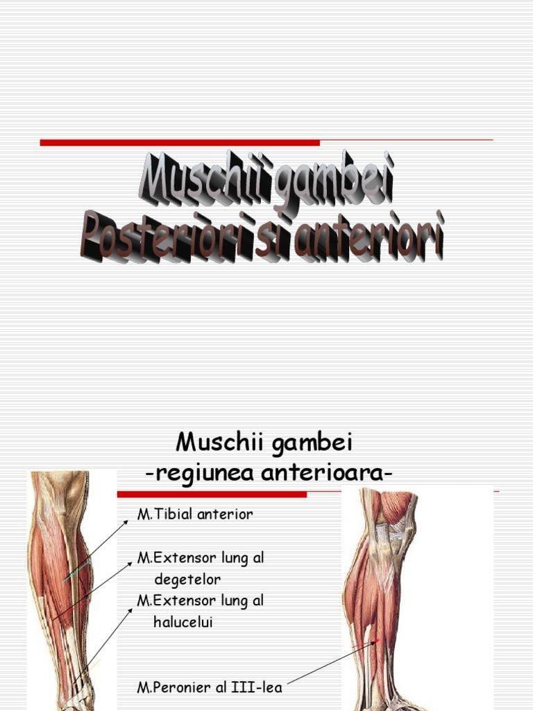 muschii tibiei)