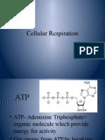Cellular Respiration Presentation