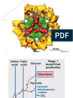 Pyruvate Dehydrogenase Lecture