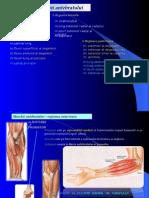 Muschii Antebratului