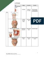 Síntesis de Los Músculos Del Cuerpo Humano